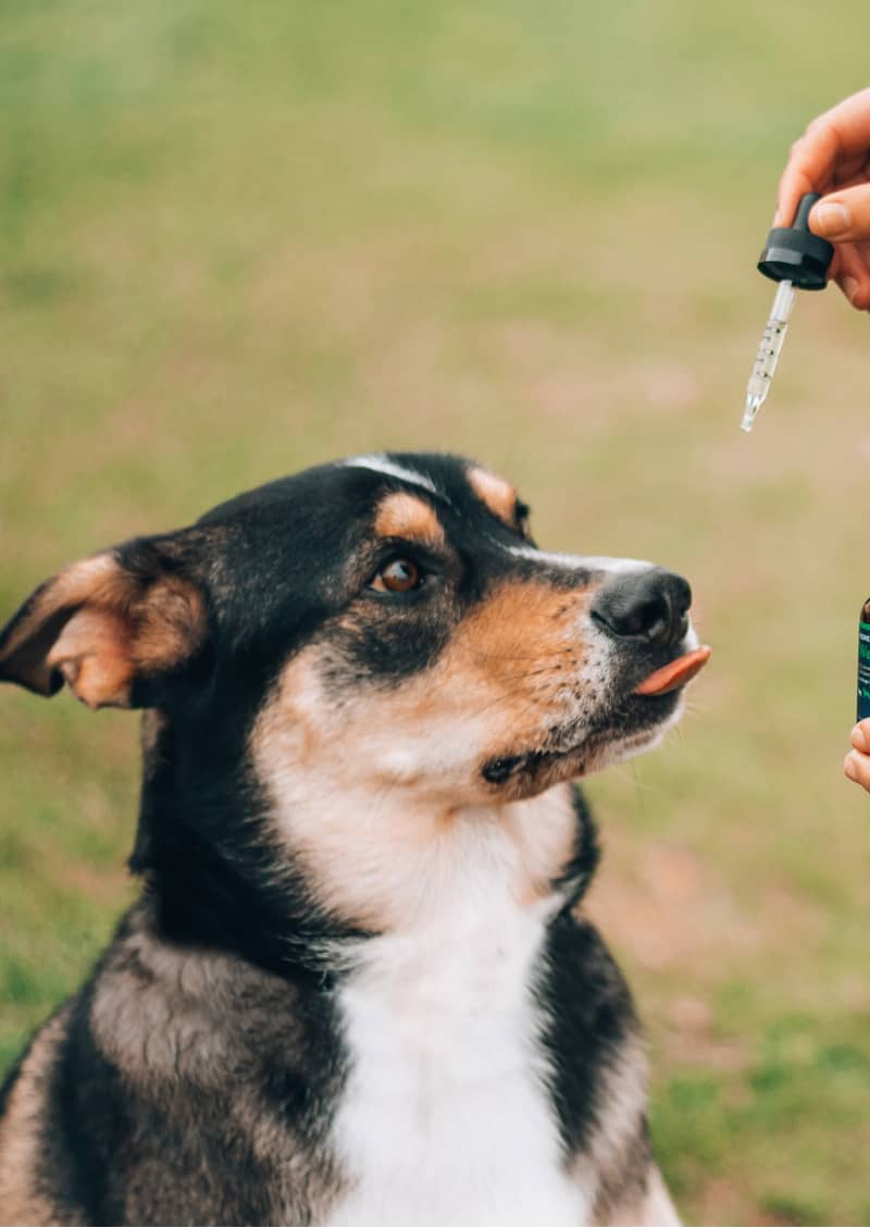 Dog getting cbd oil from dropper