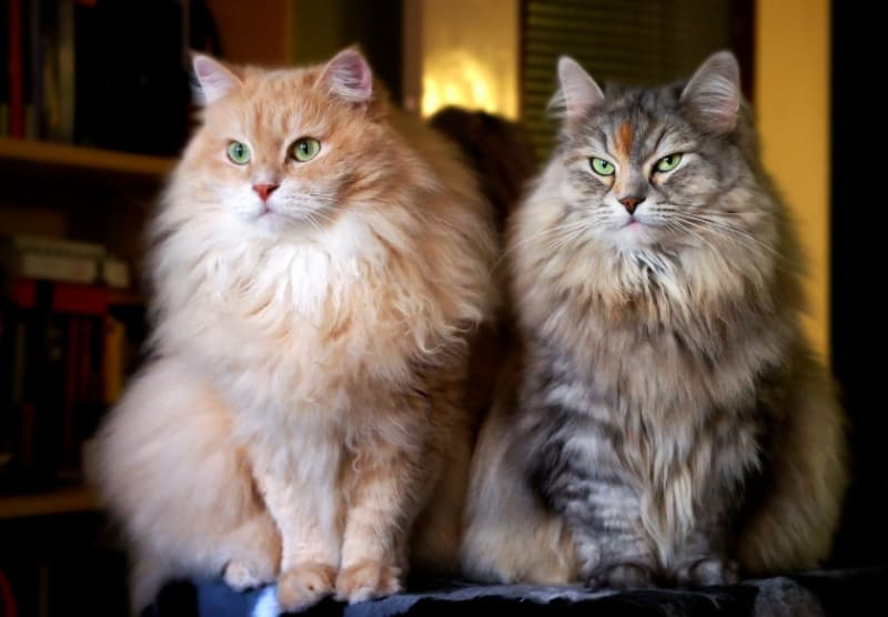 Two beautiful long-haired cats