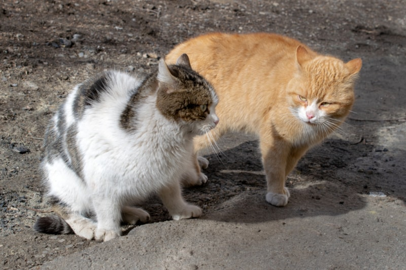 Aggressive angry cats before fight