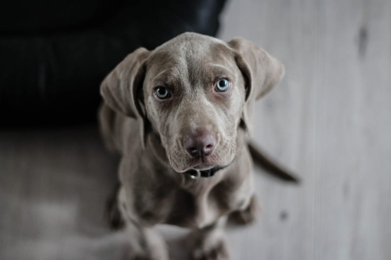 Gray dog with blue eyes