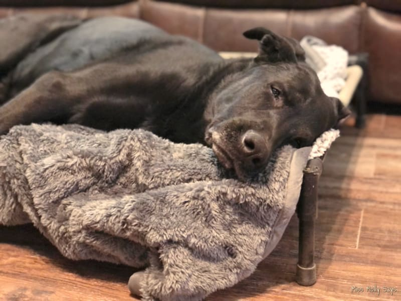 Black German Shepherd Lab Mix laying on a Pet Parents Waterproof Pawtect Blanket