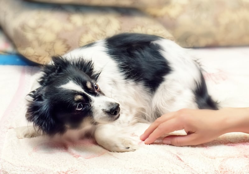 Scared black and white dog laying by a person's hand