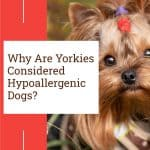 Why Are Yorkies Considered Hypoallergenic Dogs?