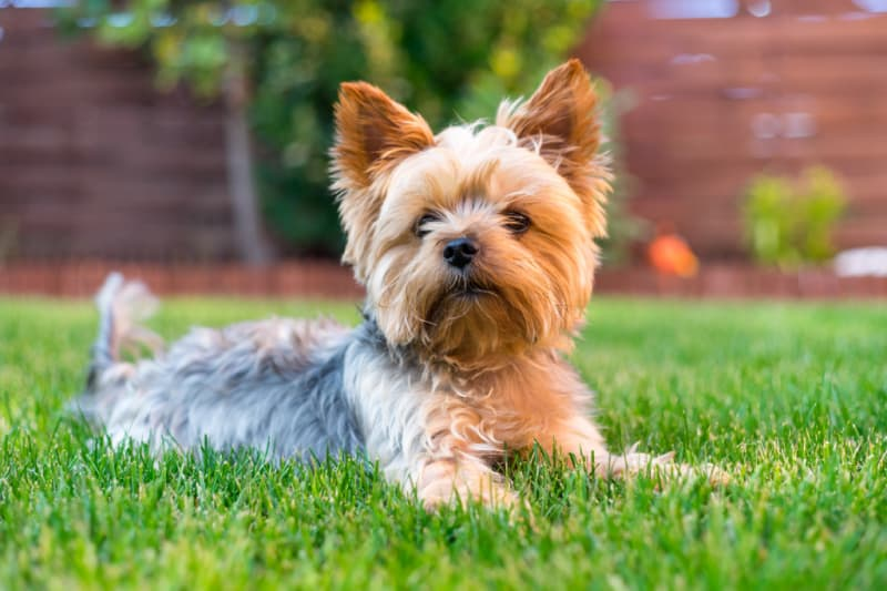 Yorkie terrier laying in the grass