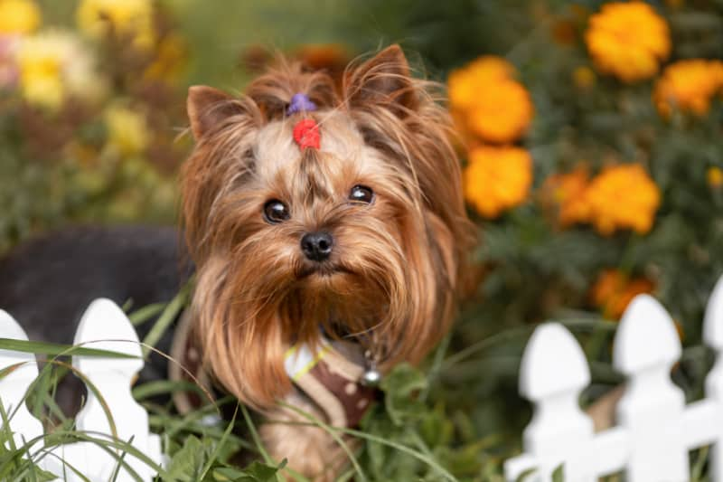 Yorkie terrier wearing a red bow with orange flowers in background
