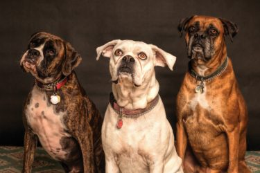 Three dogs sitting in a row watching photographer