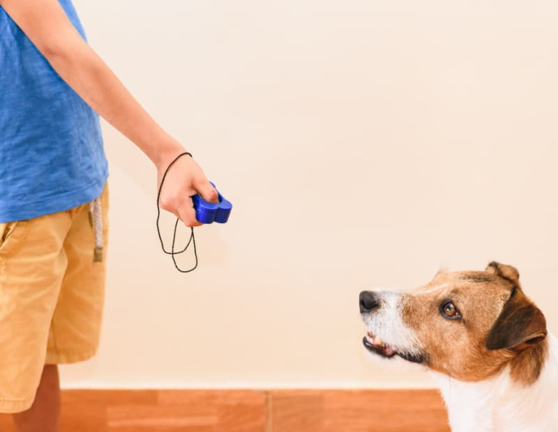 Boy and his Jack Russell Terrier during dog training with a clicker