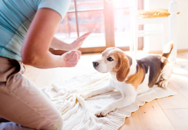 Woman holding her hand up in command with beagle dog