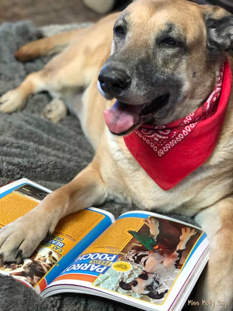 Tan German Shepherd in a red bandana laying with paw on National Geographic Kids book