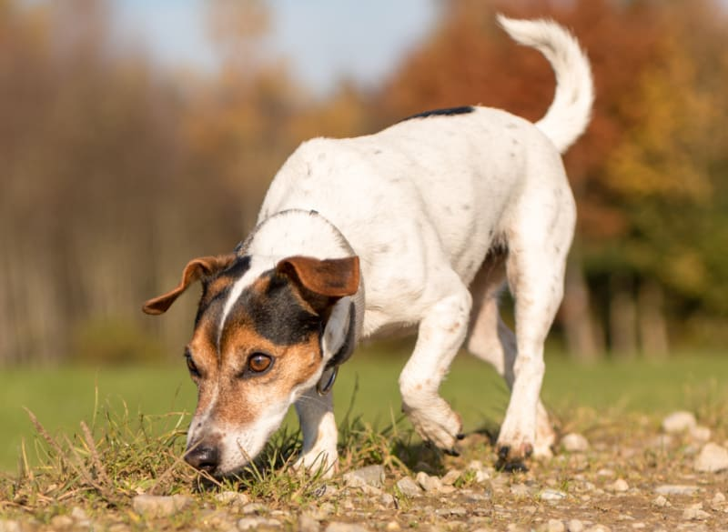 Jack Russell Terrier Hound sniffing the ground following a track