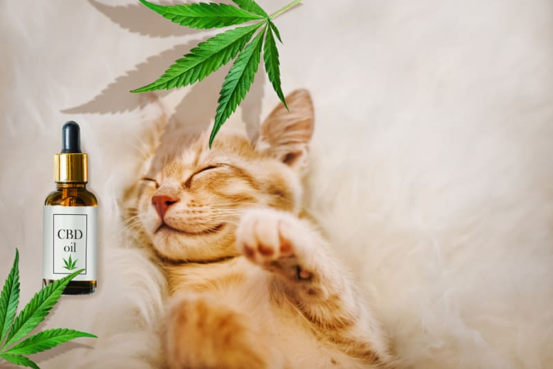 Snoozing cat with CBD oil bottle
