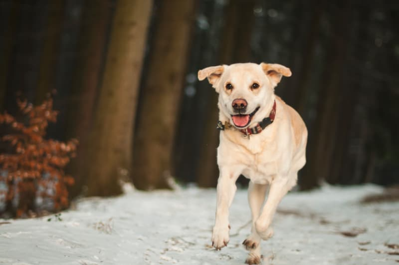 White dog running in the snow