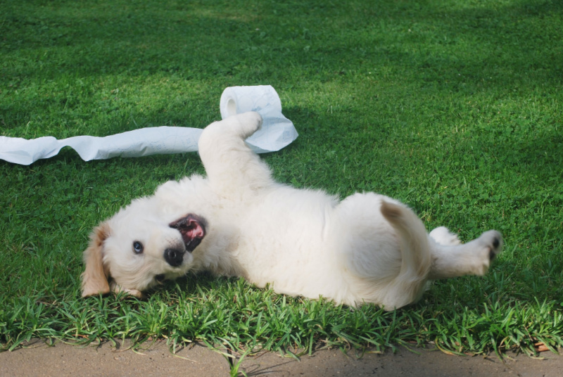 White puppy rolling on the grass with a roll of tissue paper