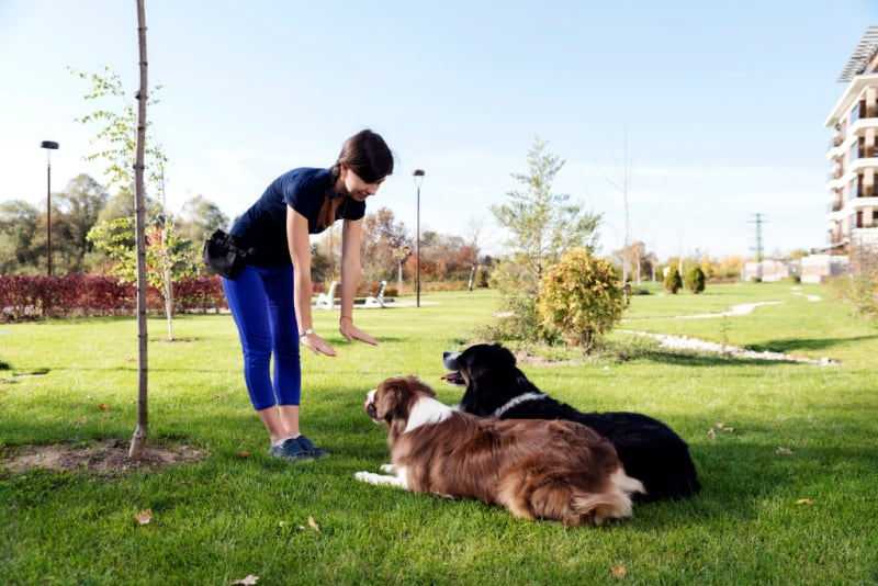Woman training two large dogs