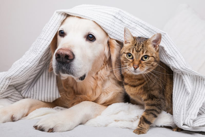 Dog and cat together looking out from under a sheet