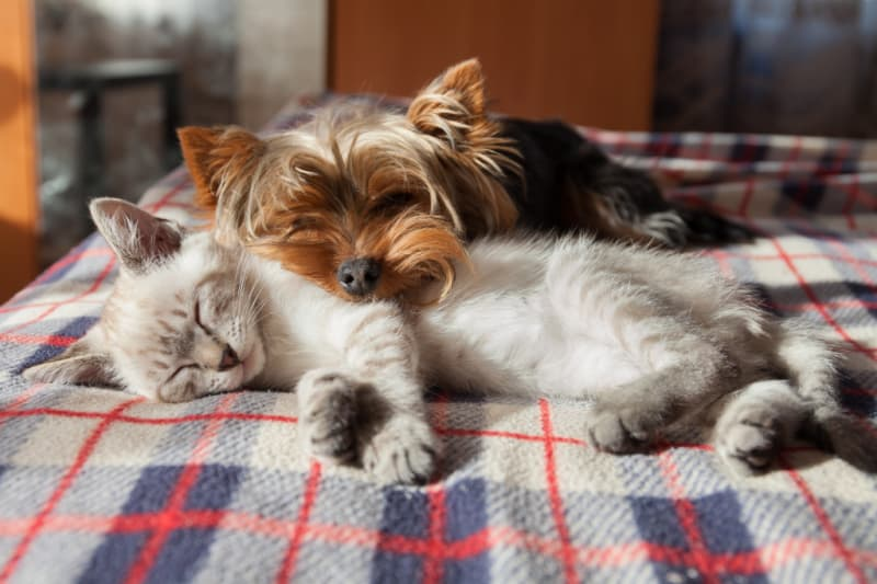 A small dog and a kitten sleep at home