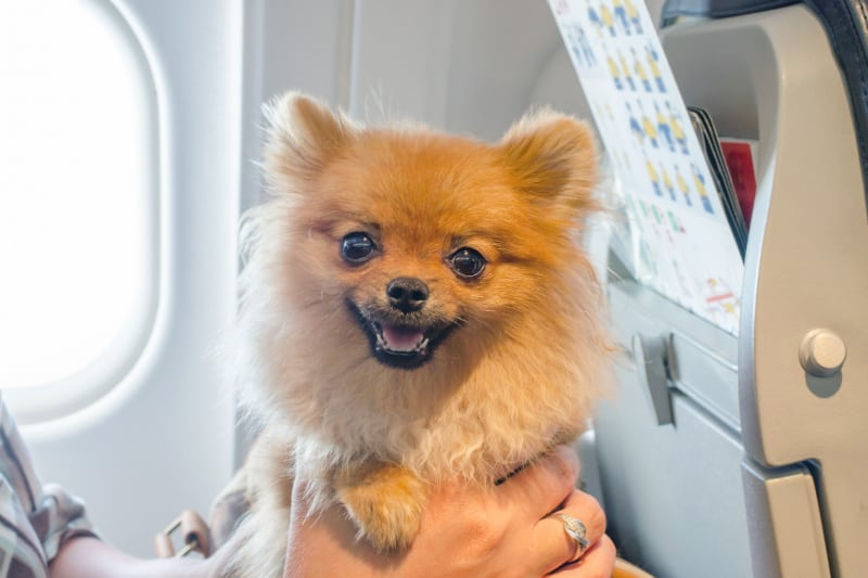 Small dog being held by person on board a plane
