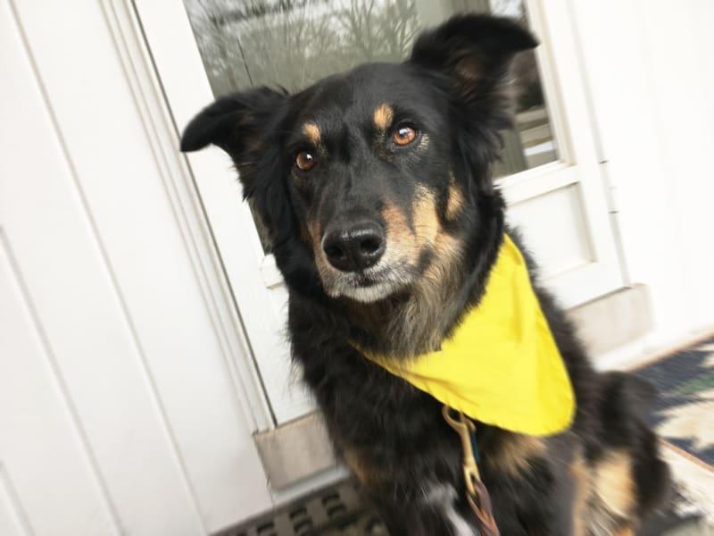 Black dog wearing a yellow bandana