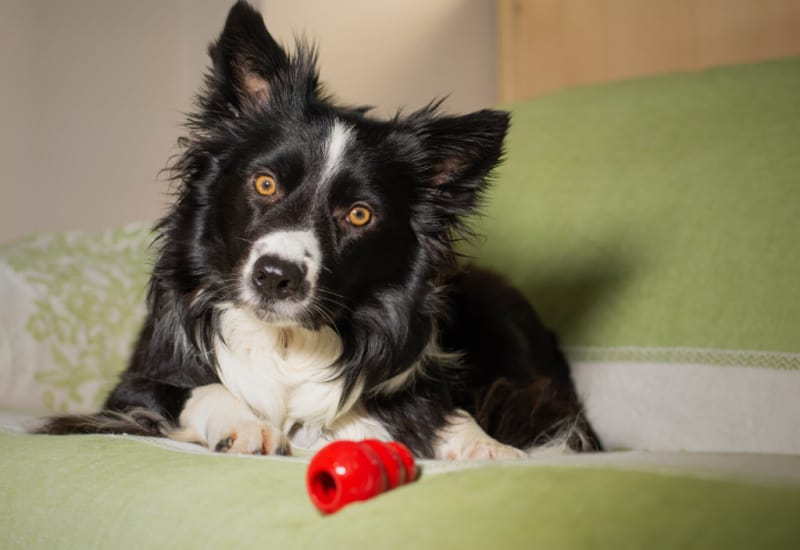 Border Collie with a red Kong toy