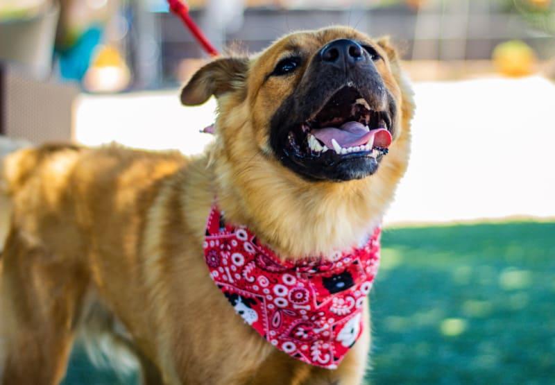 Brown dog wearing a red print bandana