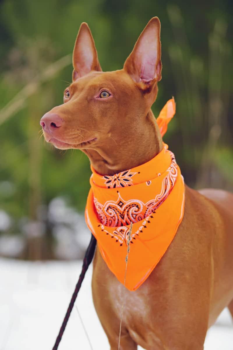 Brown dog wearing an orange bandana
