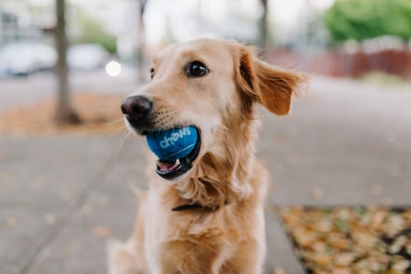 Cute dog with blue ball in his mouth