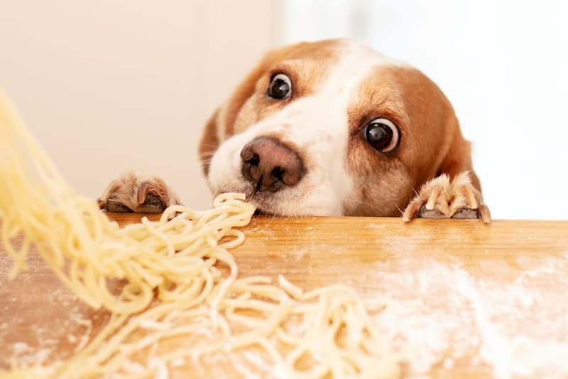Cute beagle dog trying to steal homemade pasta from the kitchen countertop.