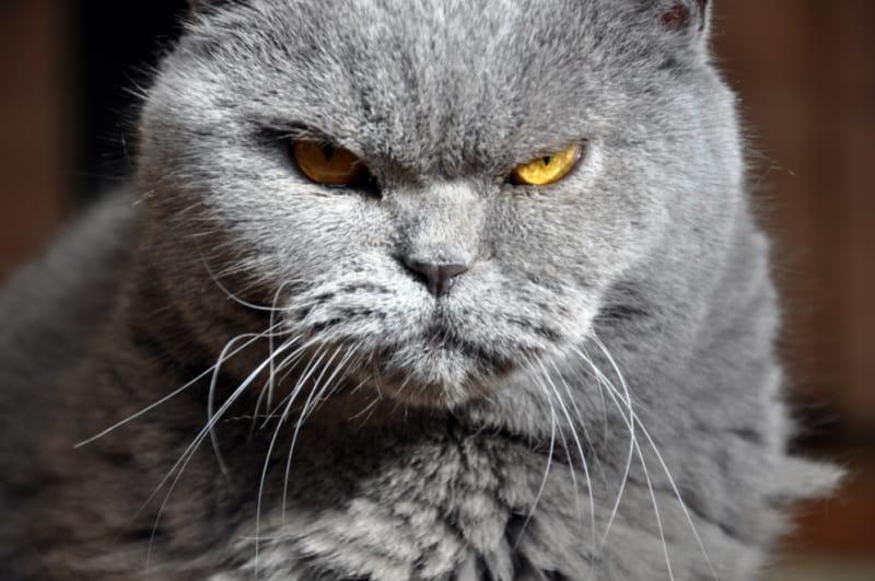 Gray mad cat