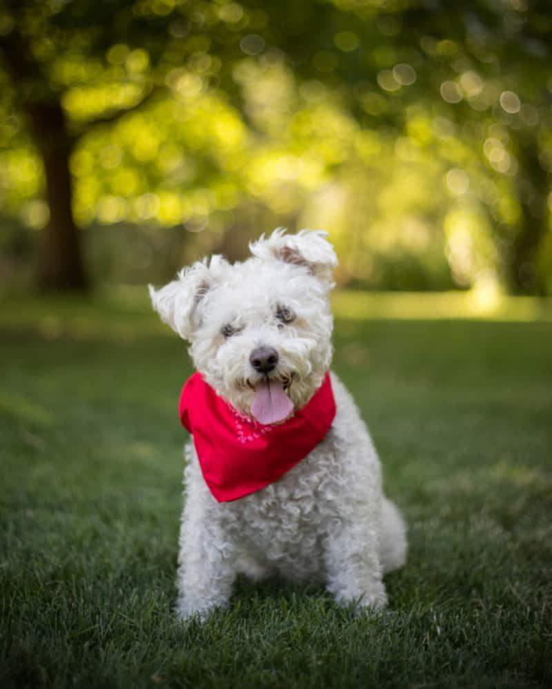 Small white dog wearing a yellow bandana