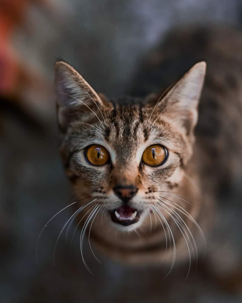 Surprised looking gray cat
