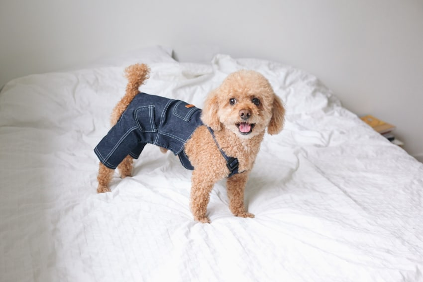 Poodle in bluejean overalls