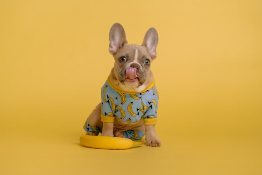 Small dog in cute outfit with bananas on it