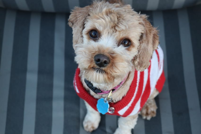 Small dog in striped sweater