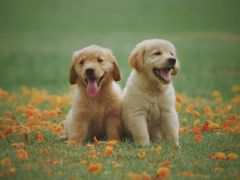 Two small puppies sitting on the grass
