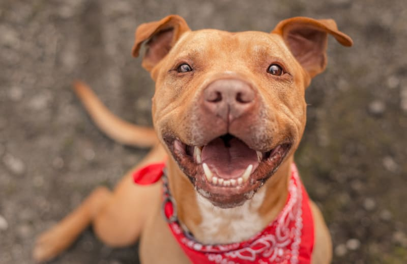 Brown pit bull wearing a red bandana smiling widely
