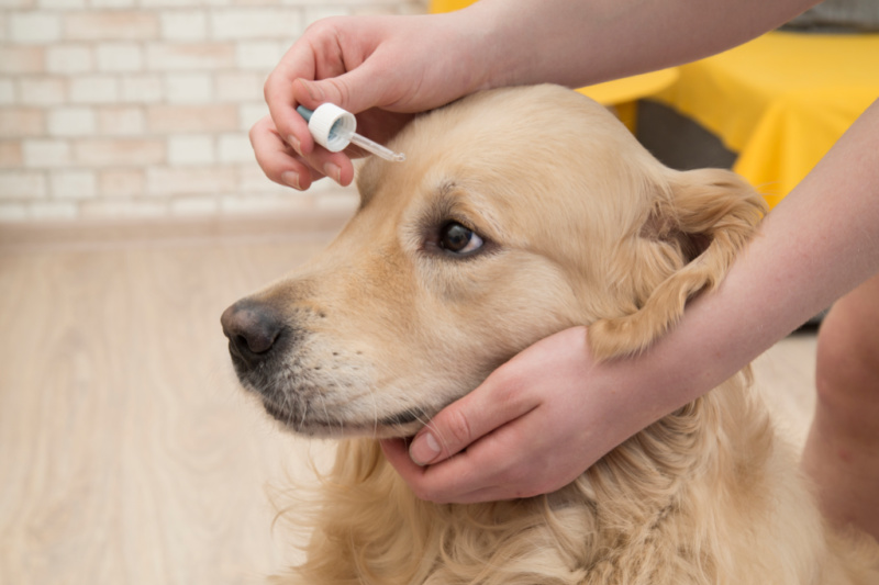 Dog getting eye drops put in eye