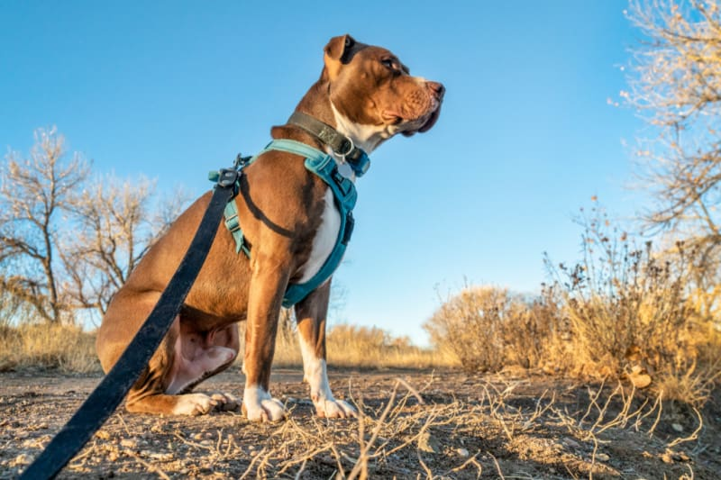 Young pit bull terrier dog in no pull harness sitting during outdoor walk