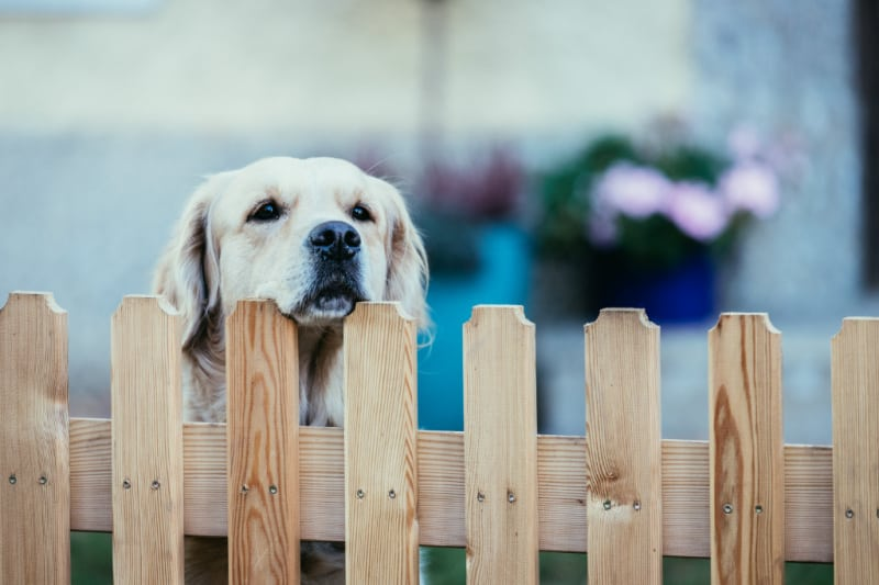 Dog looking over wooden fence