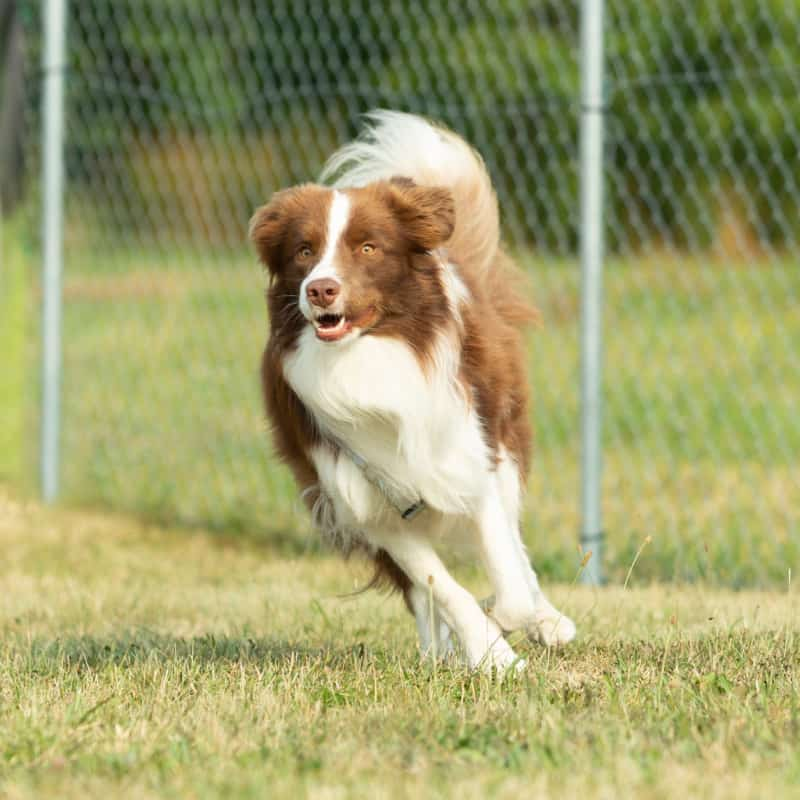 Dog running inside a wire fence enclosure