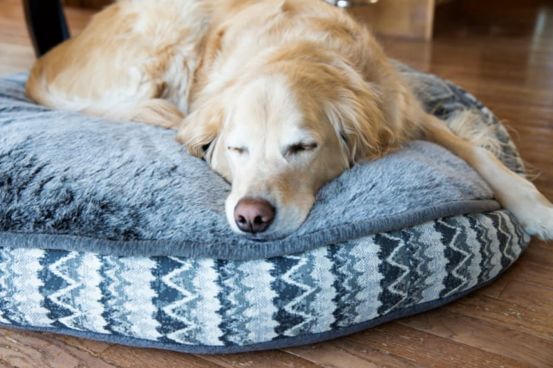 Golden Retriever laying on a round blue dog bed