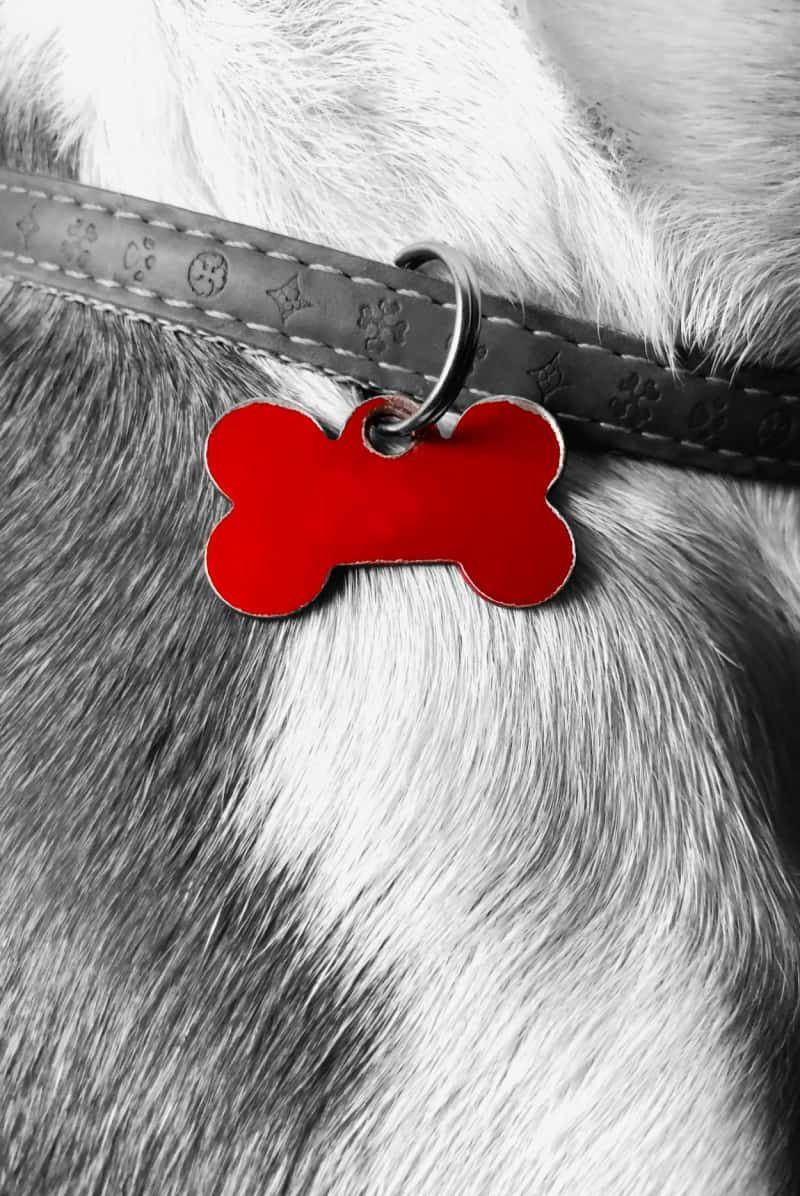 Red pet ID tag on leather collar