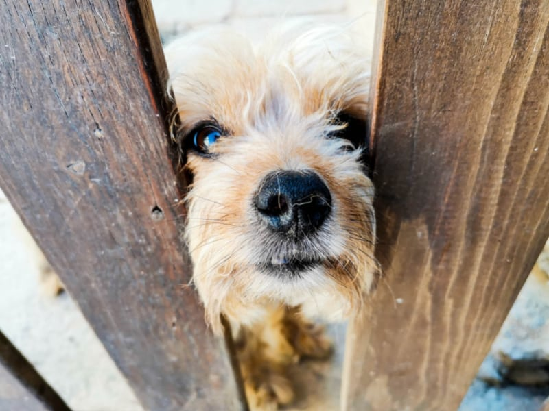 Small dog looking through slats in a wooden fence