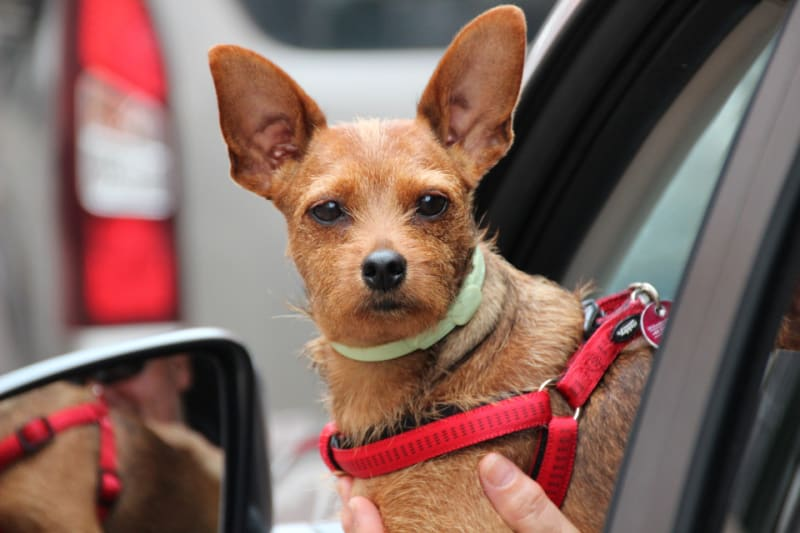 Small dog wit red harness leaning out car window