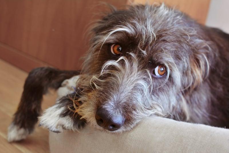 Sad scruffy dog laying on a couch