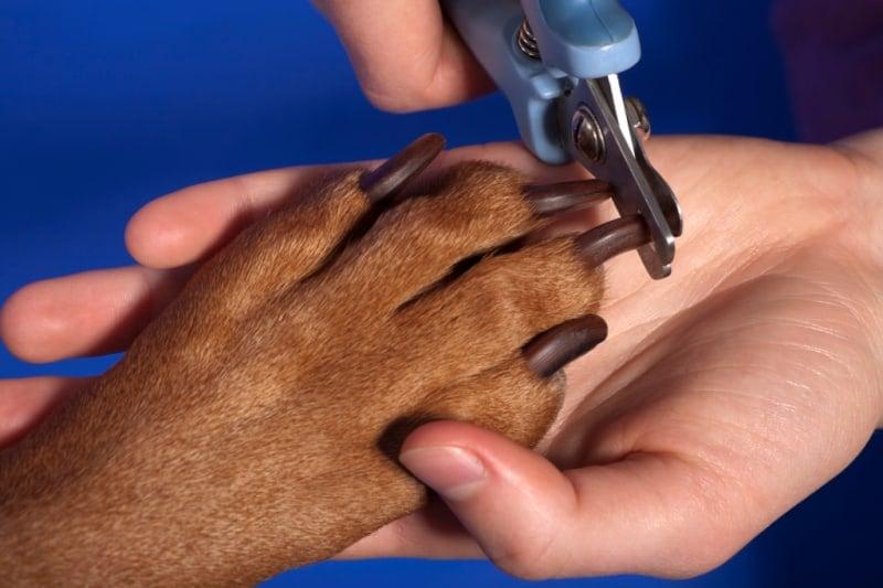 Closeup of dog getting a nail trim