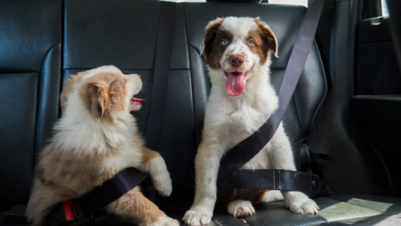 Two Australian Shepherds buckled into back seat of car