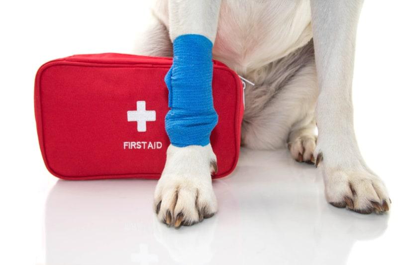 White dog with bandaged paw sitting beside first aid kit