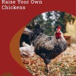 4 Essentials to Invest in if You Want to Raise Your Own Chickens