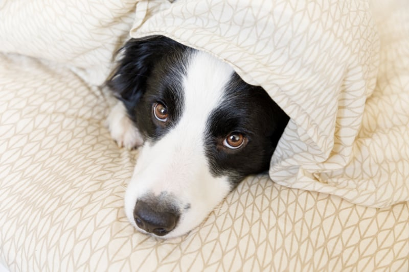Black and white border collie peeping out from under a yellow sheet
