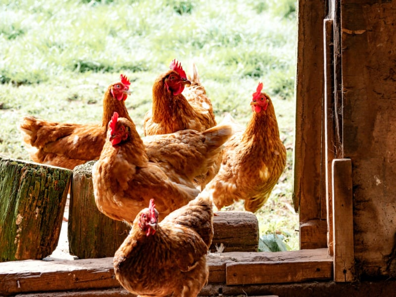 Chickens sitting outside of chicken coup